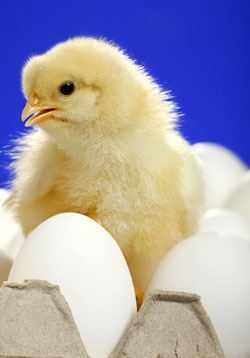 сырые яйца не прошедшие кулинарную обработку могут и цыпленок вылупившийся из яйца