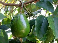 Зрелый зеленый  авокадо на ветке дерева