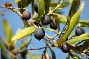 Зрелые и незрелые оливки растущие на дереве