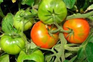 Созревшие и зеленые плоды томатов на ветке